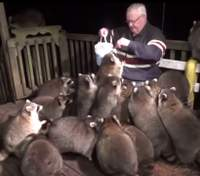 Чоловік щовечора годує єнотів в пам'ять про померлу дружину: фото та відео